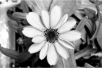 太空百日菊   一株距离地面约400公里的百日菊今天成了明星,非但如此,它还极有可能以第一朵太空花的名号被载入史册。   这条消息是身处国际空间站的美国宇航员斯科特凯利在社交网站推特上发布的,之后立即引来大量的转发和评论。由其发布的一张橘黄色百日菊的照片也迅速成为了热门。   与在地面不同,第一朵太空花从种植到开花的过程并不轻松。据英国《每日邮报》报道,此前宇航员们已在空间站完成过多项植物种植实验,并成功种植过生菜。但百日菊对环境和光线更为敏感,种植起来更为困难。起初,百日菊无法吸收水分,大量水